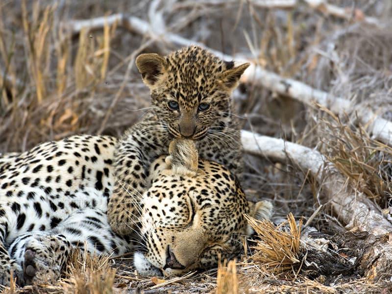 2013 Leopard ID poster