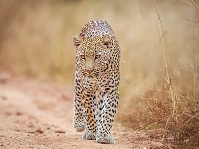 Leopard Research