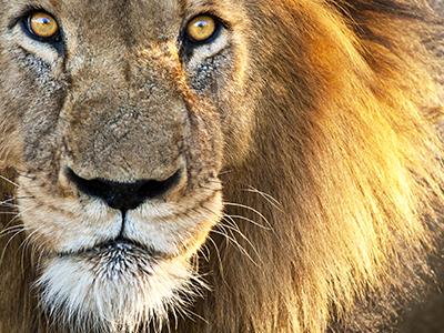 Lion Management