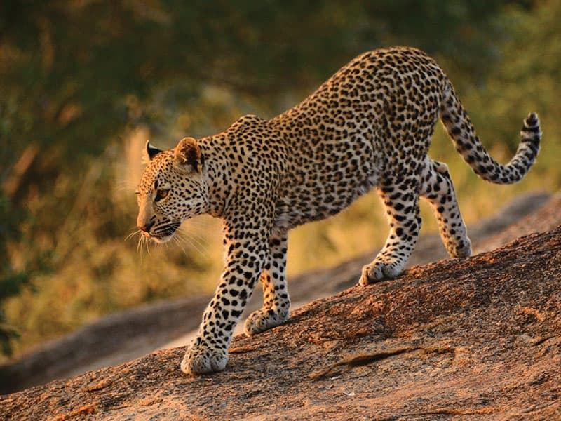2013 Leopard poster