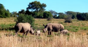 Rhino mothers and calves meet